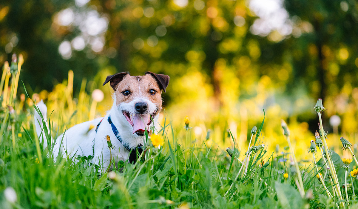 A happy Jack Russell Terrier on a green grass lawn with yellow flowers